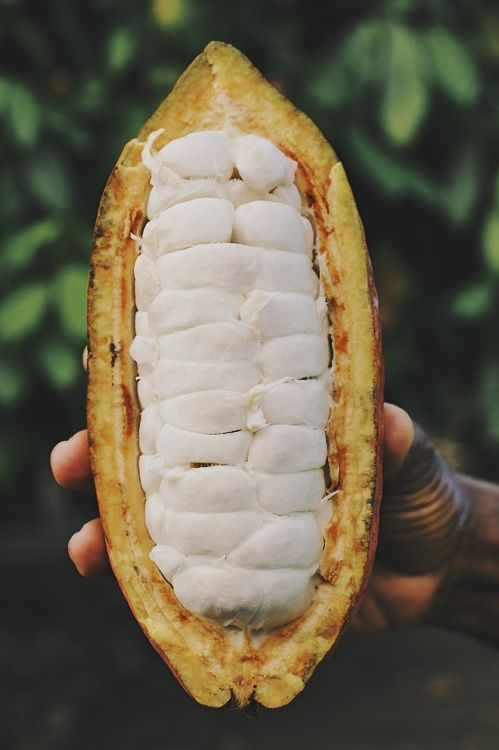 Cocoa pod with cocoa beans inside