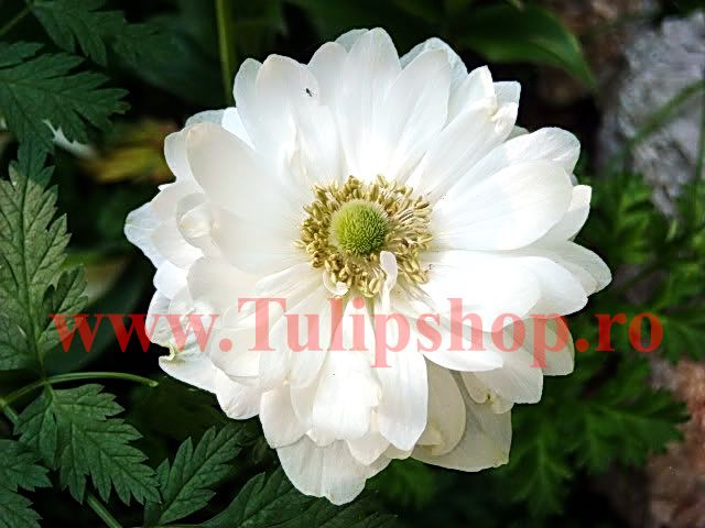 Bulbi Anemone Mount Everest