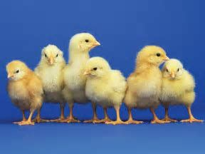 Image result for Baby Chickens