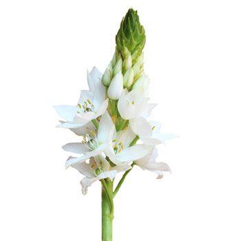 Star of Bethlehem White Flower | FiftyFlowers.com; 4 bunches for $99.99