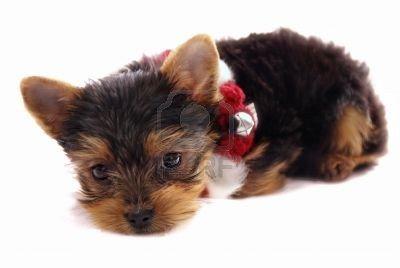 Adorable petit bébé Yorkshire Terrier avec le rouge et le blanc de Noël collier - chiot isolé sur fond blanc   Banque d'images