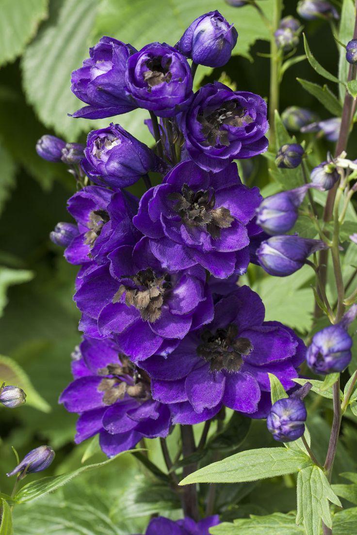 Ridderspore er en vakker staude: http://www.mestergronn.no/blogg/stauder-6-favoritter/