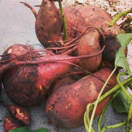Sweet Potato April 2014