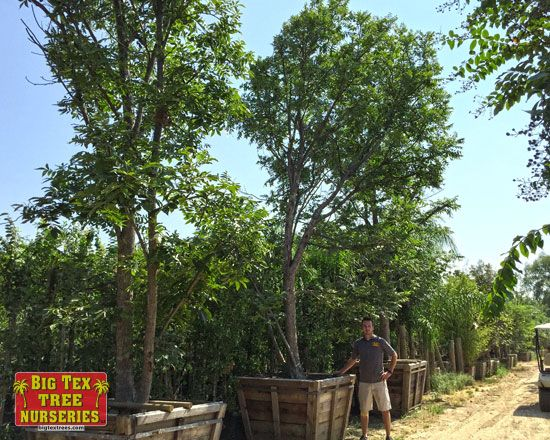 The Pecan Tree Is A Texas Favorite This Large Deciduous Reaches Heights Of