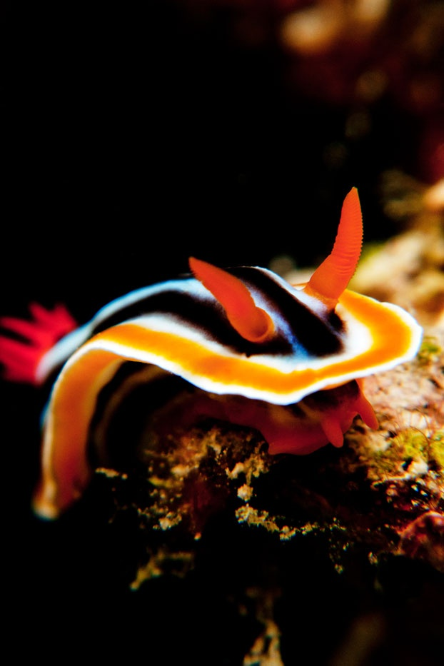 Its vibrant colors and unique appearance have always captivated divers: the nudibranch is truly a marvel of the deep sea.