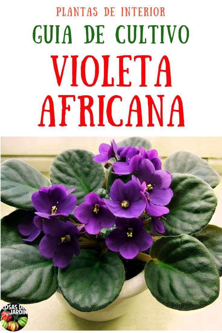 Violetas como cuidar