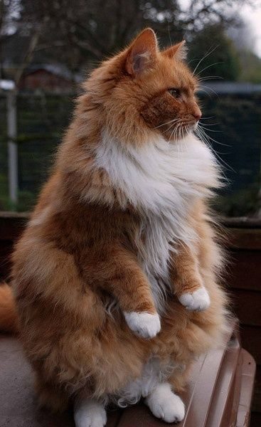 Beautiful!, Maine Coon cat