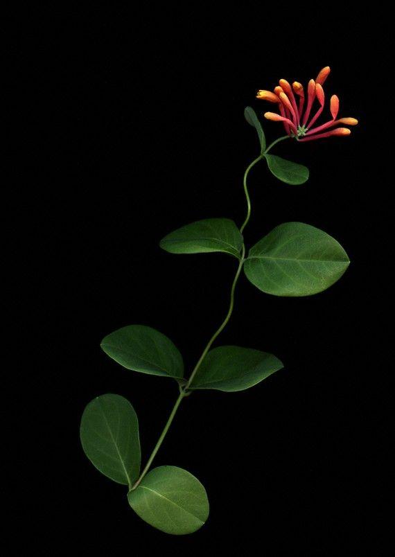 spring honeysuckle photograph fluid line coppery flower black background mandarin photoscan on Etsy, $25.00