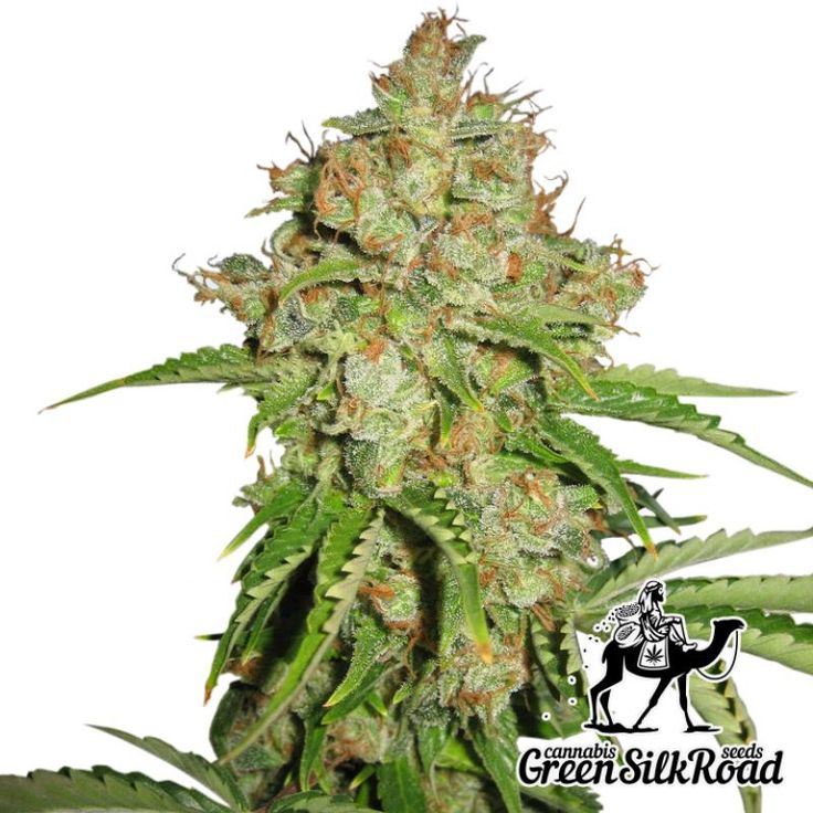 Auto White Russian Feminised is a true superstar of the marihuana. Its strong plants frost over with a layer of white THC crystals. The low bushes of this strain barely reach 130 cm, proudly demonstrating a huge number of inflorescences with a delightful fruity aroma and powerful deep stone effect. Creating favorable cultivation conditions, you will be able to collect about 50 grams per bush