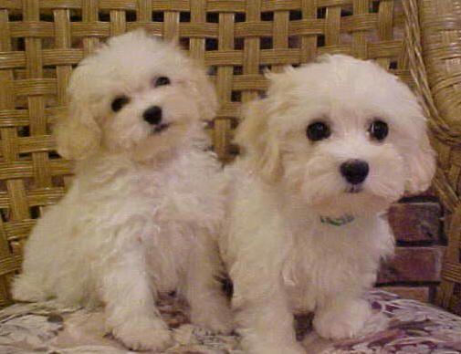 havanese   Havanese Puppies For Sale   Havanese Breeders   (954)434-4116