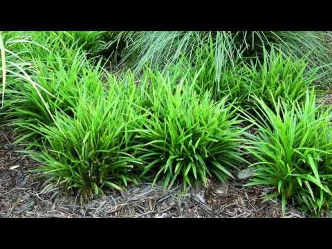 47 best grasses and ground covers images on pinterest grasses au plants aranda dianella caerulea dc150 pbr aranda is a compact altavistaventures Gallery
