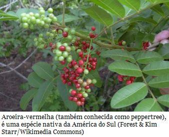 Fruta típica do Brasil pode combater superbactéria  Ao estudar a cultura medicinal dos índios, pesquisadores descobriram que a planta tem propriedades que podem combater infecções letais e frear a multiplicação de superbactérias dentro do organismo