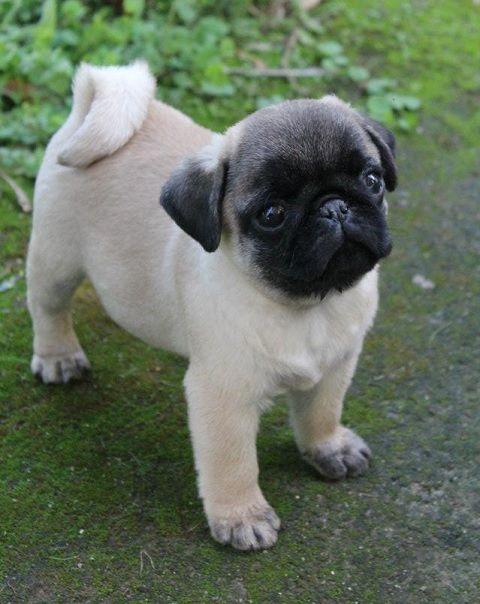 Cute Pug Puppy . . . on the way toward true pugnificence <3