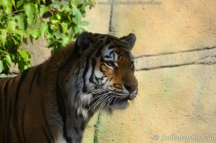 Siberische tijger - Panthera tigris altaica -  Siberian Tiger | by MrTDiddy