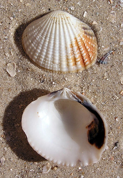 sweet white seashells, sand - love things on the seashore x