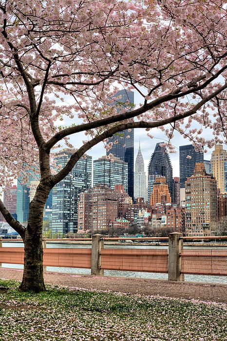 The Spring skyline. The New York City skyline as seen from the cherry tree lined shoreline of Roosevelt Island.  NYC. JC Findley