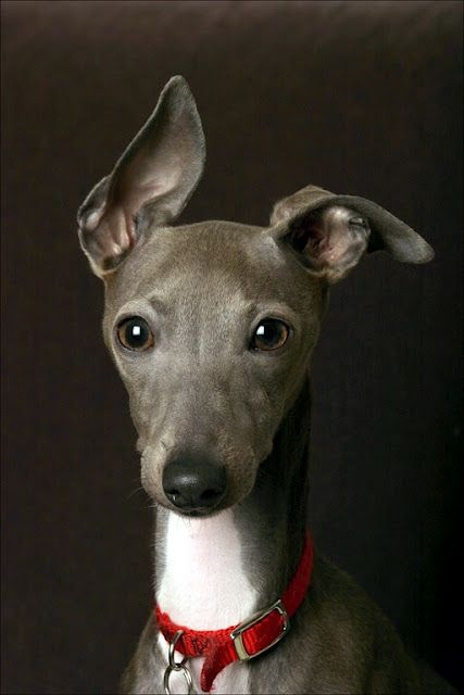 Aw.. cute little Italian Greyhound