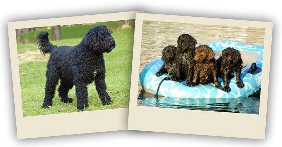 Splash Water Dogs - Élevage de chiens d'eau portugais
