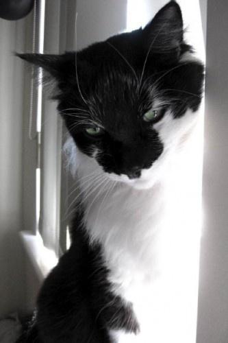 LOST Black and White Cat Lesmurdie/Kalamunda