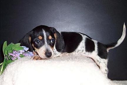 Black and Tan Piebald Dachshund Puppy