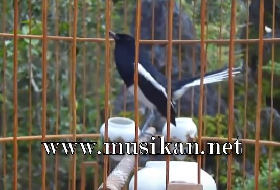 Suara Burung Kacer Gacor Mp3 Cocok Untuk Masteran