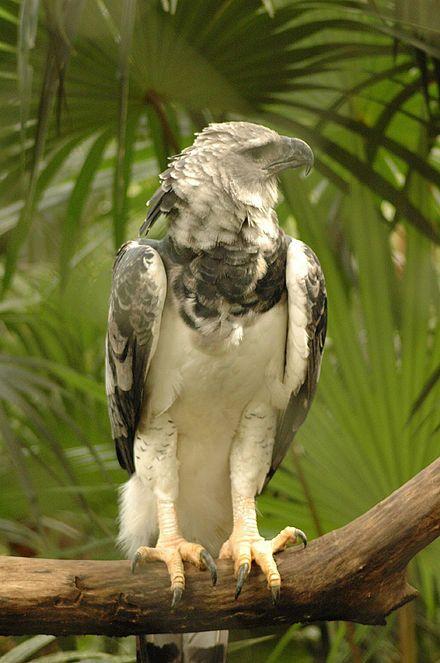 Harpy Eagle at Darién National Park, Darién Province, Panama