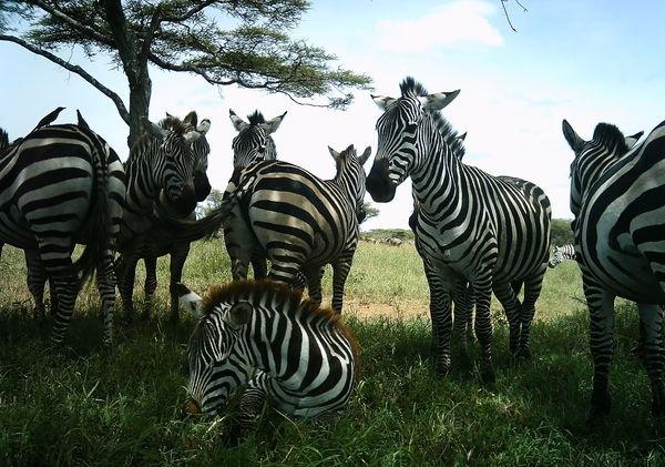 Lots of zebras!