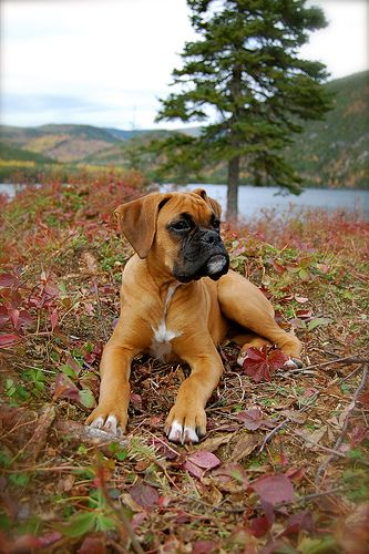 #Boxer having a rest / dog canine cute funny adorable Boxers