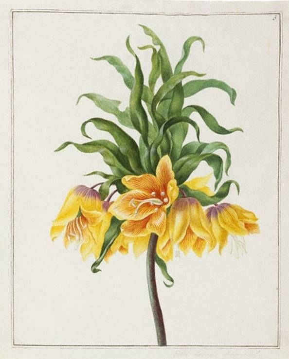 Johanna Helena Herolt (German painter) 1668 - 1723 Yellow Crown Imperial, ca. 1696-97