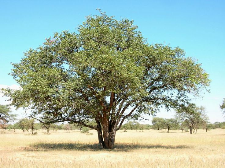 Colophospermum mopane is a beautiful tree recognized for its butterfly-shaped leaves and strange seeds. Can reach impressive heights of 30 or so metres. This tree favours hot, dry, low-lying areas, in the far northern parts of south africa and beyond. Has been found growing in alkaline soils, or alluvial soils.