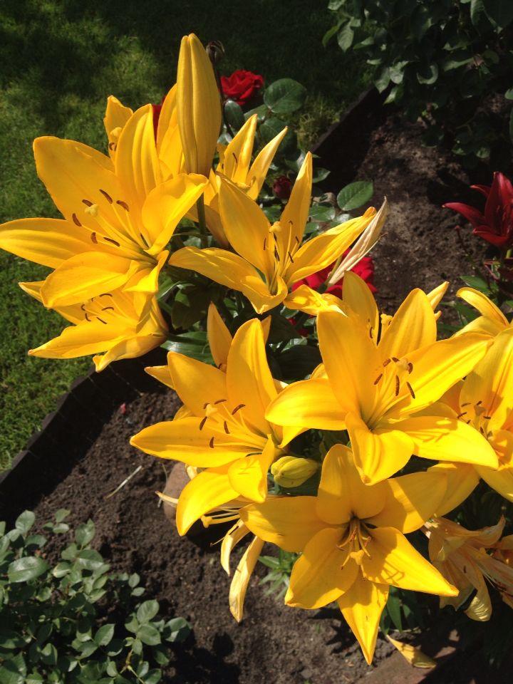 Yellow lilas
