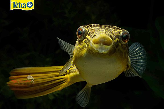 98 best images about tyler termini 39 s photography on tetra for Giant puffer fish