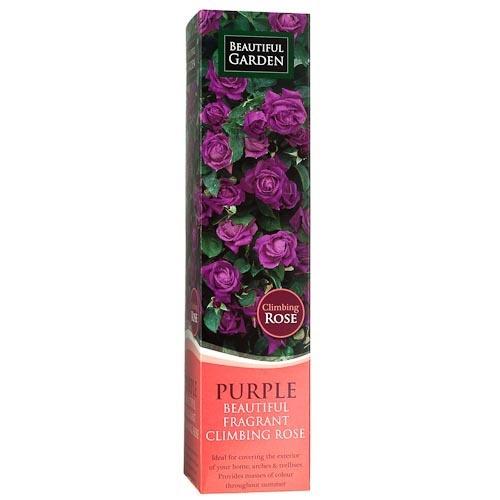 Climbing Rose - Purple