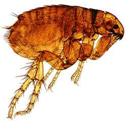 Detecting Dog Fleas
