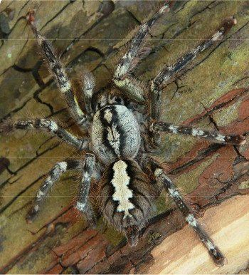 8 best Poecilotheria sp. images on Pinterest | Spiders, Hand ...