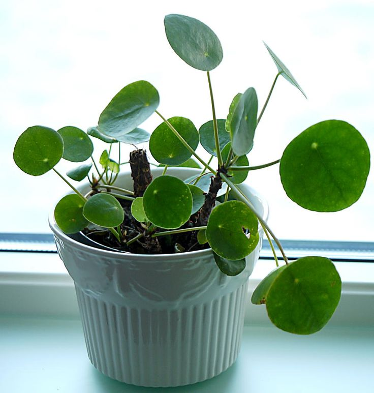17 best images about pilea peperomioides on pinterest for Plante pilea