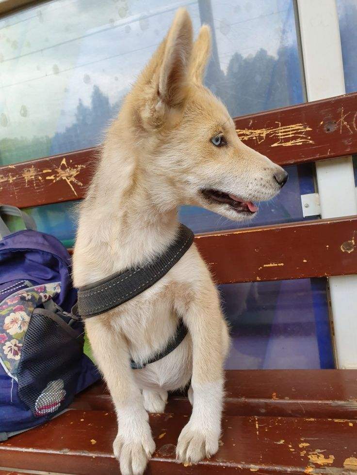 Arya first day husky dogs husky puppy dog adoption