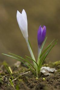 Saffron Crocus Information