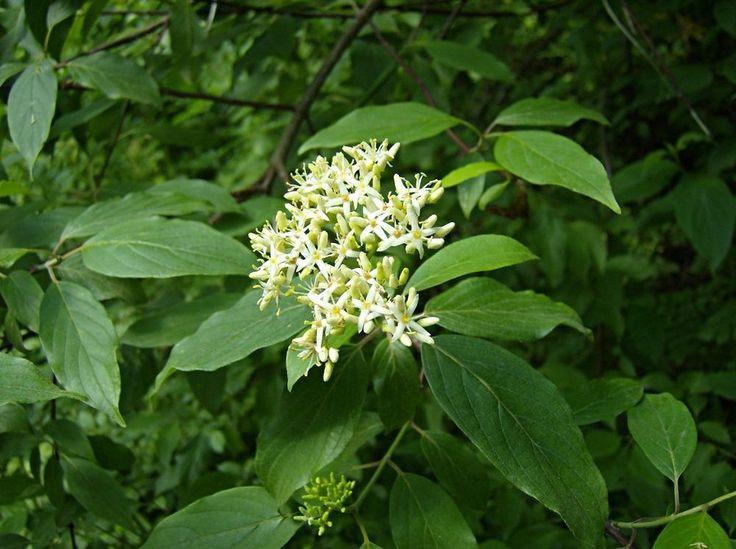 Silky Dogwood.       200 seeds.      trees, seeds #Dogwood