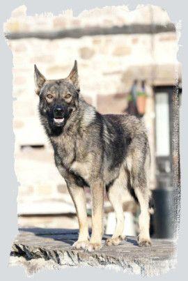 Spanish wolfdog.Perro Lobo Español. El  Perro Lobo Español es una raza no reconocida oficialmente que tuvo siempre un gran prestigio en el norte de España como vaquero, guardián de caseríos y propiedades e incluso como perro de caza.