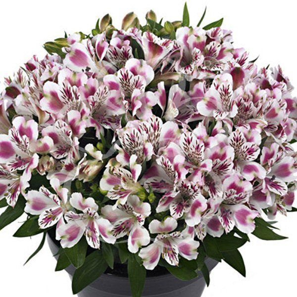 Variegated pink alstromeria.  Alstroemeria Bridal bouquet.  Purvian Lilies are available in pinks, lavender, purple, yellow, peach, white and deep purple (as well as variegated colors).  They are a long lasting flowers that is great for bouquets, centerpieces, corsages and boutonnieres.