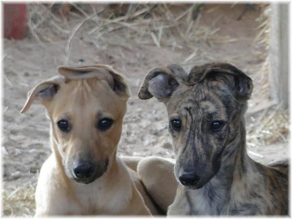 Coydog Nh: 585 Best Images About For My Kasey Cane, The Greyhound Who