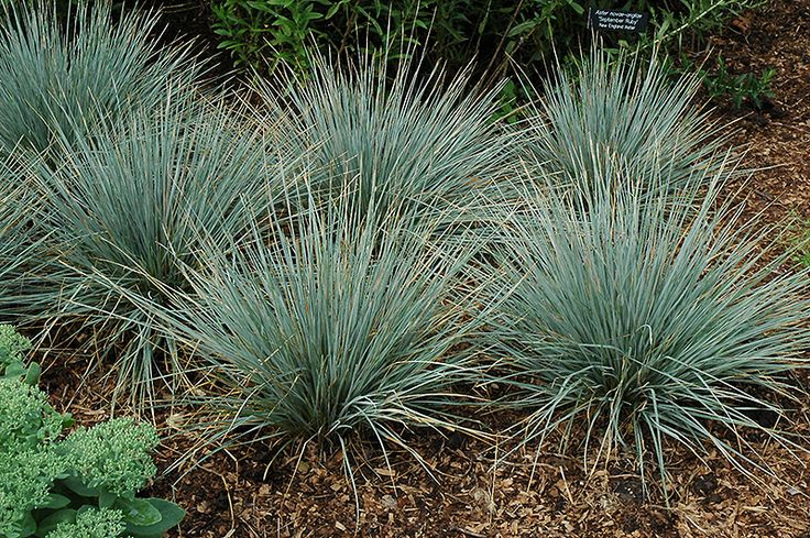 Sapphire fountain oat grass helictotrichon sempervirens for Blue fountain grass