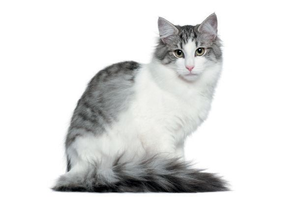 Meet 5 Of The World S Rare Cat Breeds Norwegian Forest Cat