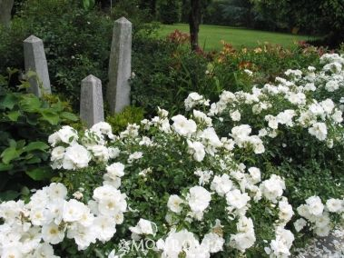 "White Flower Carpet Rose - Moderate grower 24-30"" tall x 36"" wide.  Full sun deciduous shroub.  Blooms spring through fall."
