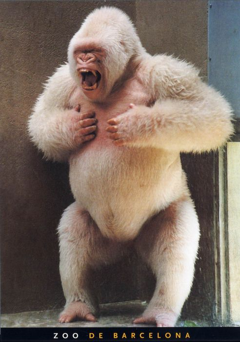 ✯ Snowflake, the only albino gorilla ever observed. Captured from the wild by poachers in 1967, Snowflake lived out most of his life at the Barcelona zoo.  He died at the ripe old age of 40 due to skin cancer, probably related to his albinism. He outlived all of his 22 children, none of whom were albino, but lived to see his many grandchildren - a rarity for gorillas.✯