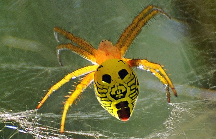Spider with face pattern