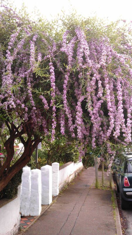 Buddleja alternifolia - ( Weeping Butterfly bush ) AGM Family Scrophulariaceae Originating from China Slender, arching shoots with silvery/green leaves. In early summer it produces fragrant lilac flowers that wreathe the pendulous branches and cause a sensation. This makes the most superb weeping tree with a little pruning, and is excellent as a specimen.