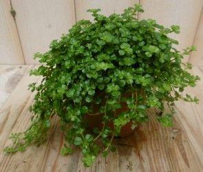 Mooi groen voor binnenshuis. Kamerplant Pitoresque Pilea Depressa #mooi #groen #wonen