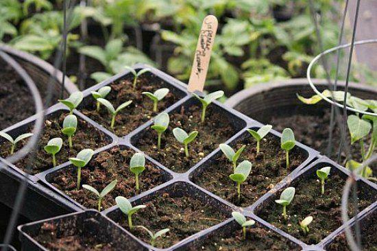 cucumber seedlings start to finish planting